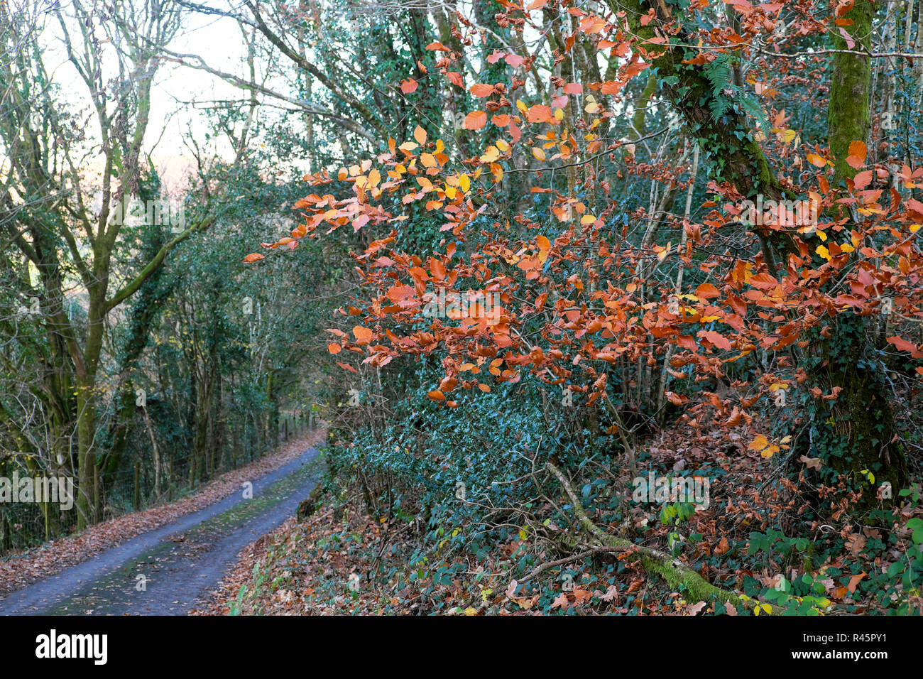 View of colourful autumn landscape with trees and rural country road in November sunshine near Llandovery Carmarthenshire West Wales UK  KATHY DEWITT Stock Photo