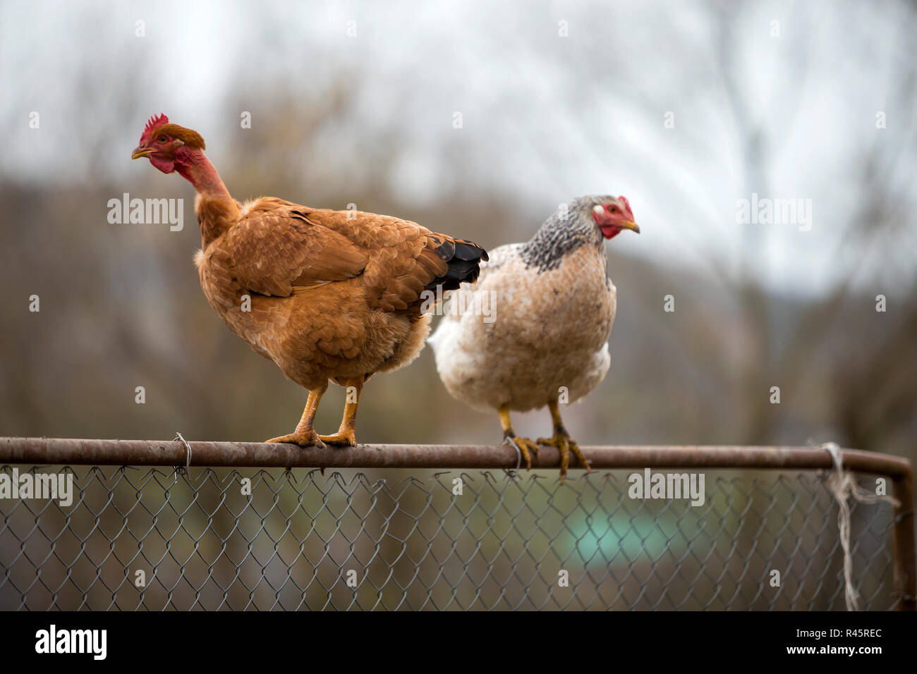 Big red brown hens outdoors sitting on wire fence on bright sunny day on blurred colorful summer copy space background. Farming of poultry, chicken me Stock Photo