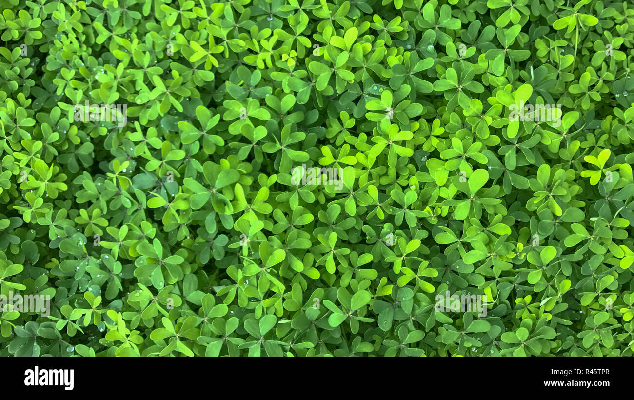 Fine Texture of green dense foliage in sunlight - Stock Image