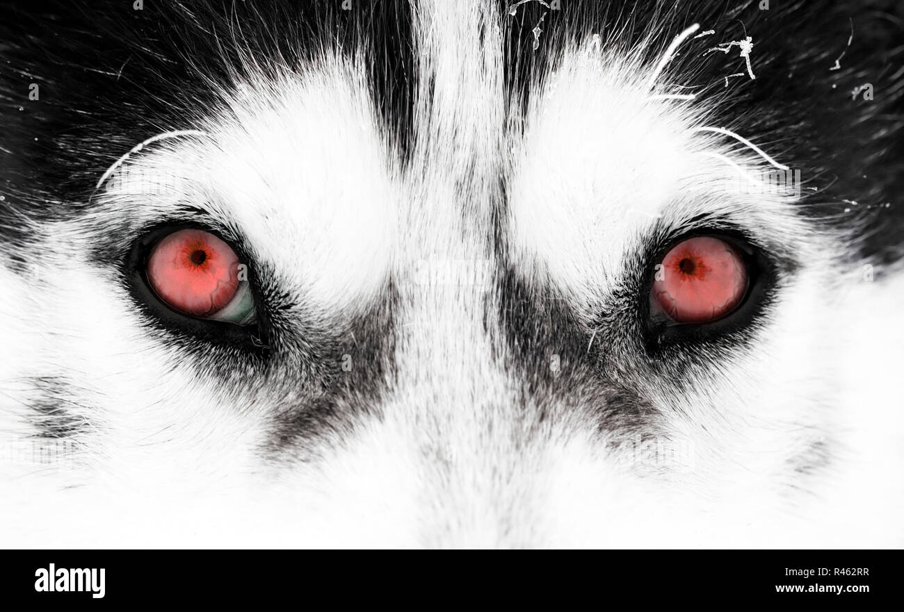 Close Up Shot Of Husky Dog S Red Eyes Stock Photo 226327355 Alamy