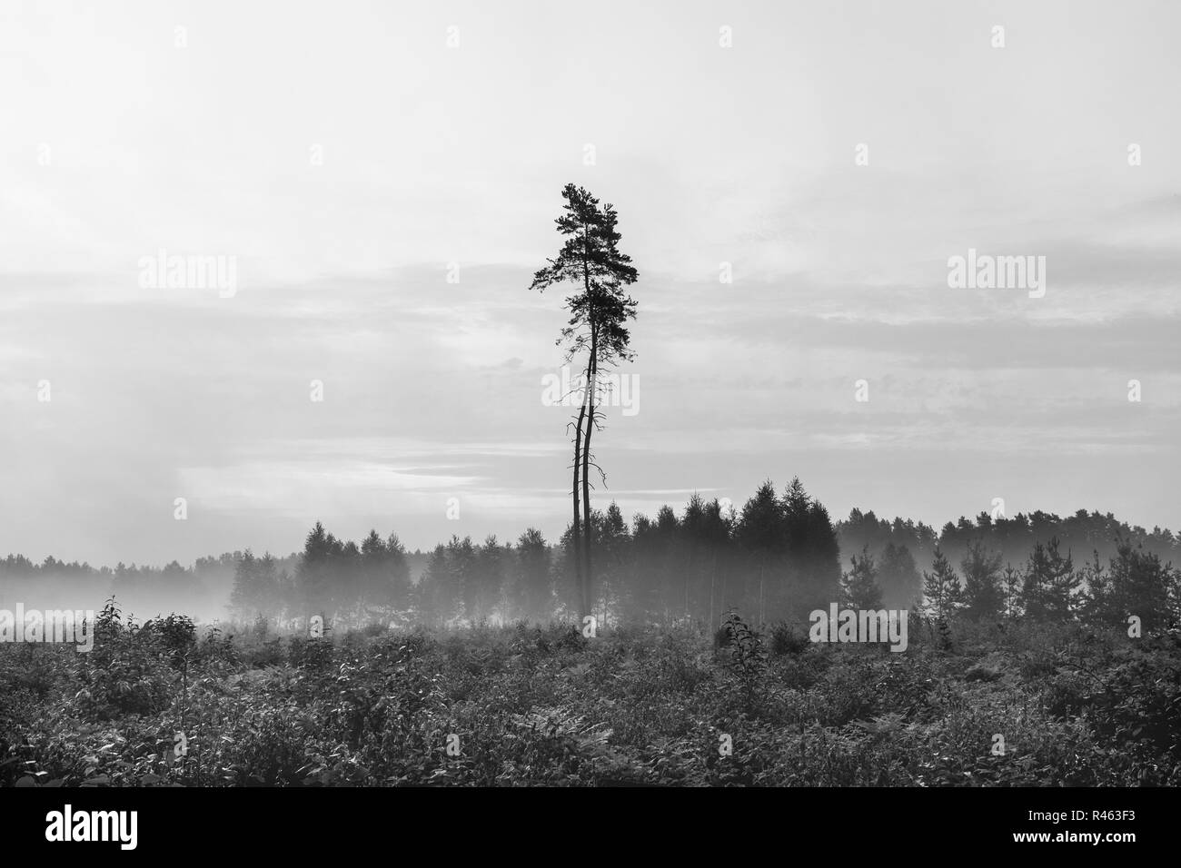 Silhouette of tall  pine tree on cleared area against morning mist - Stock Image