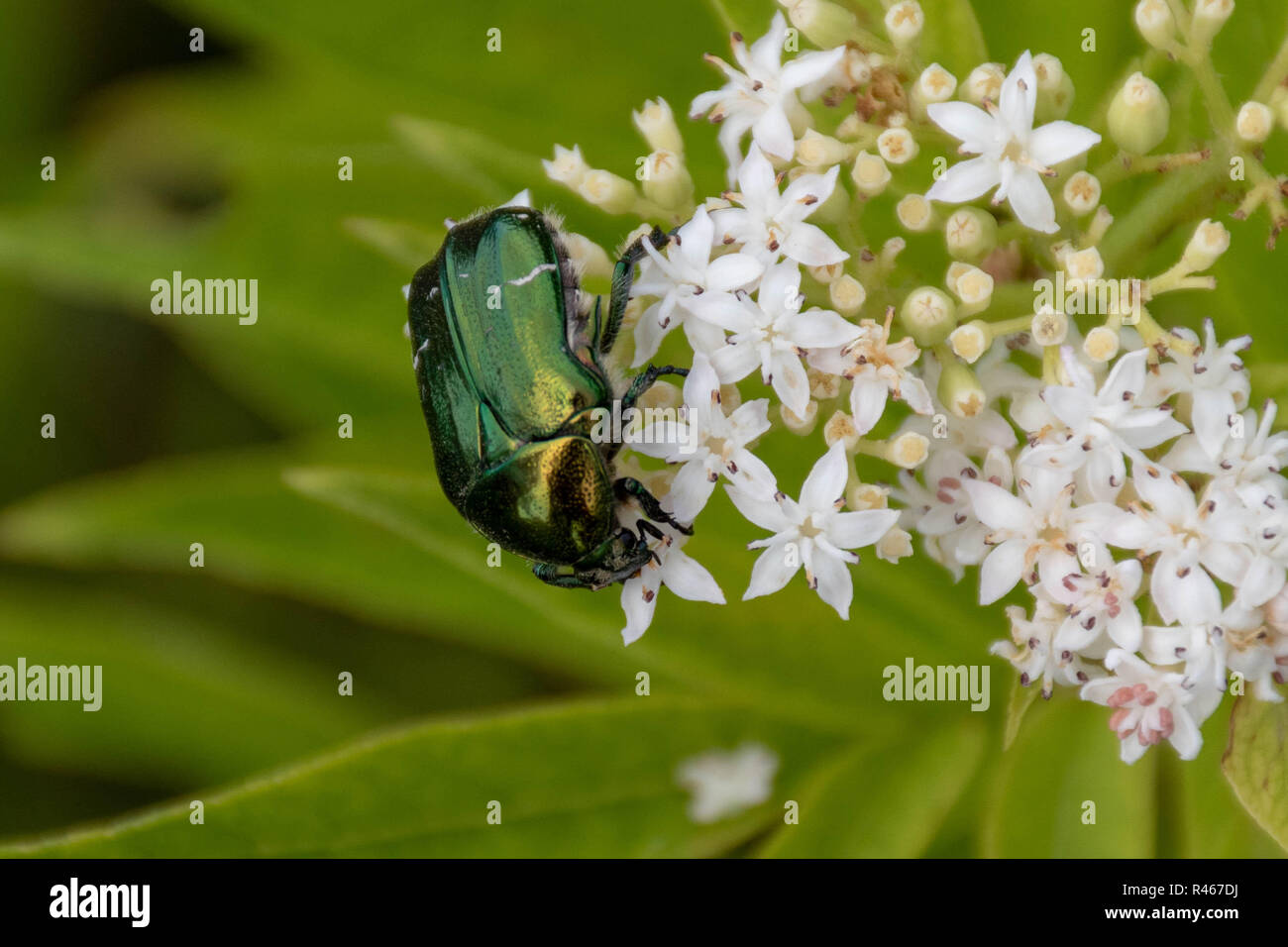 Closeup of a green metallic beetle (European Rose Chafer, Cetonia aurata) crawling on small white flower blossoms Stock Photo