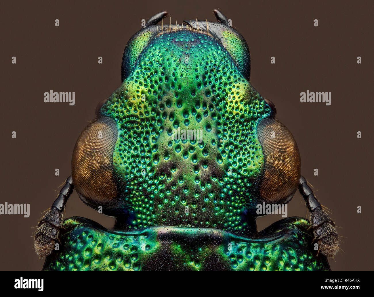 green beetle - Helota - Stock Image