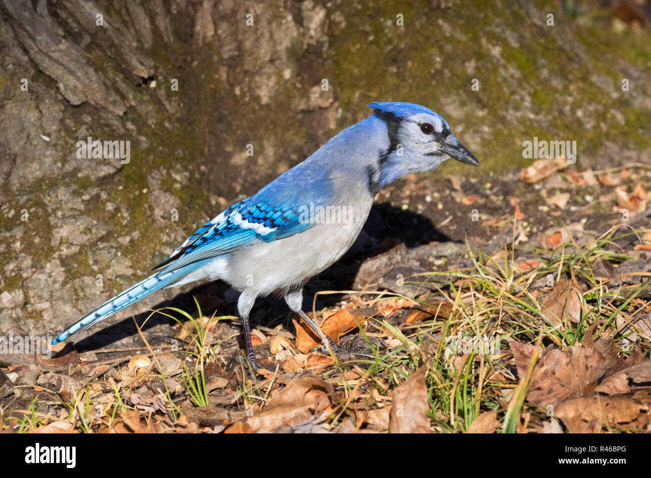 Blue jay (Cyanocitta cristata) searching acorns under an oak, Iowa, Ledges State Park, USA Stock Photo