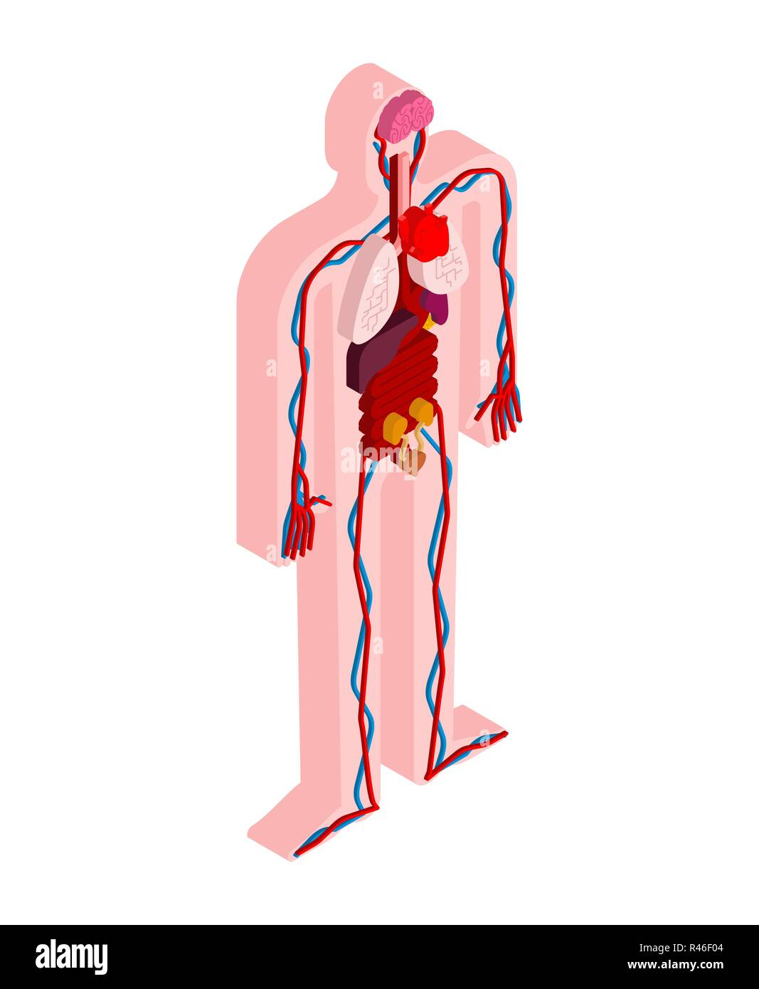 Human Anatomy Body Isometric Internal Organs 3d Organ Systems Of