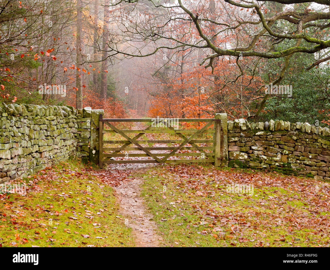 Autumn woodland scene from along the Teesdale way following the river Tees in Barnard Castle County Durham England UK - Stock Image