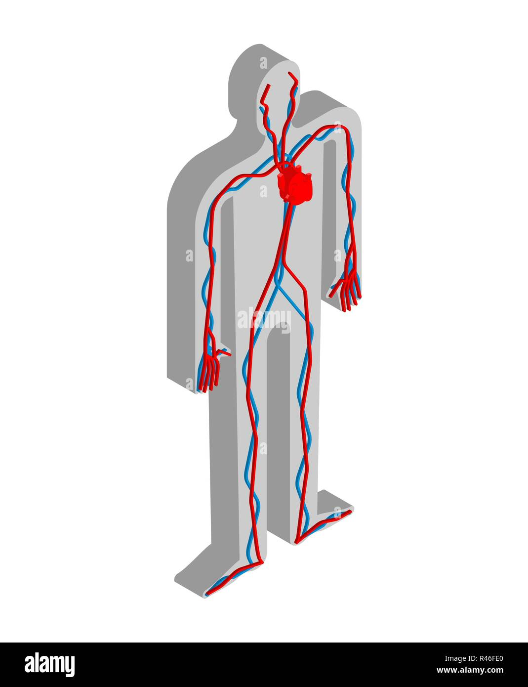 Heart And Blood System Isometric Anatomy Of Human Body Internal
