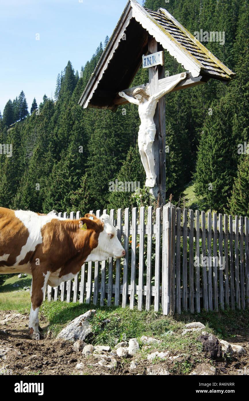 calf faces cross on alpine meadow - Stock Image