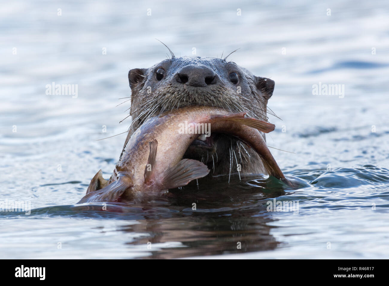 River Otter with Rock Cod - Camouflage clothing and gear