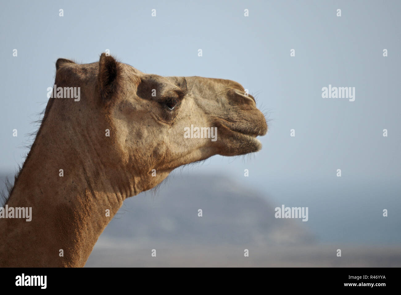 head a dromedary in front of a wide landscape - Stock Image