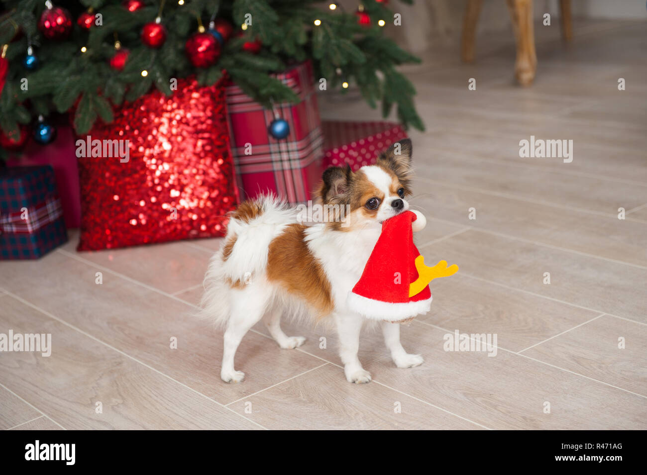 5b682123763 funny little chihuahua pet dog holding santa hat in mouth in beautiful  christmas decor