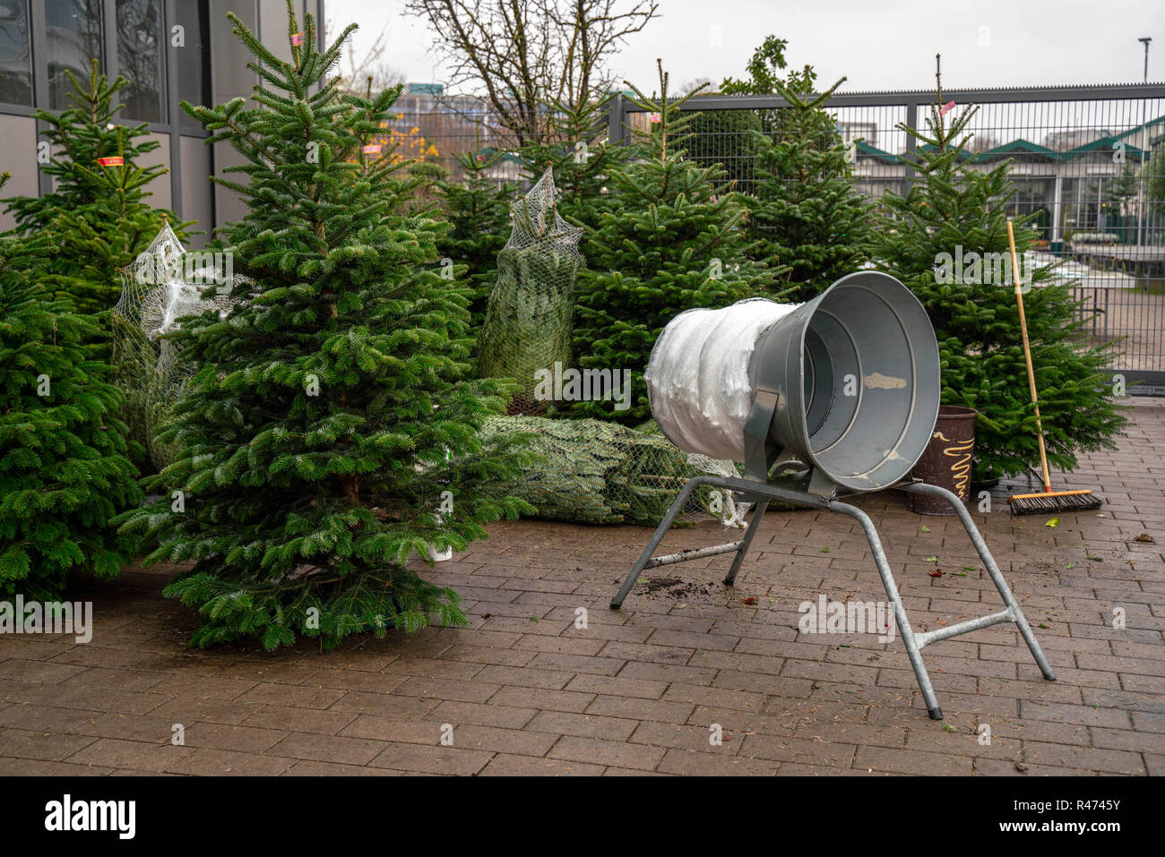 Christmas trees in pots for sale - Stock Image