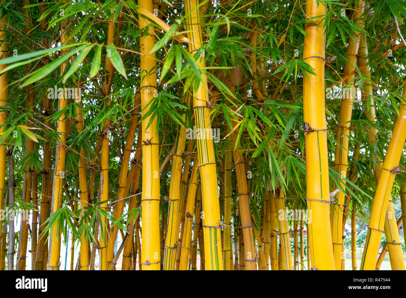Close Up Of Bamboo Trees In Garden Selective Focus Stock Photo