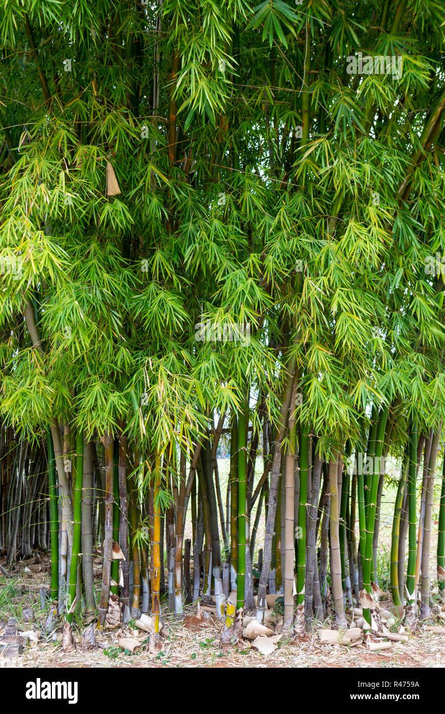 Bamboo Trees In Garden Stock Photo 226351254 Alamy