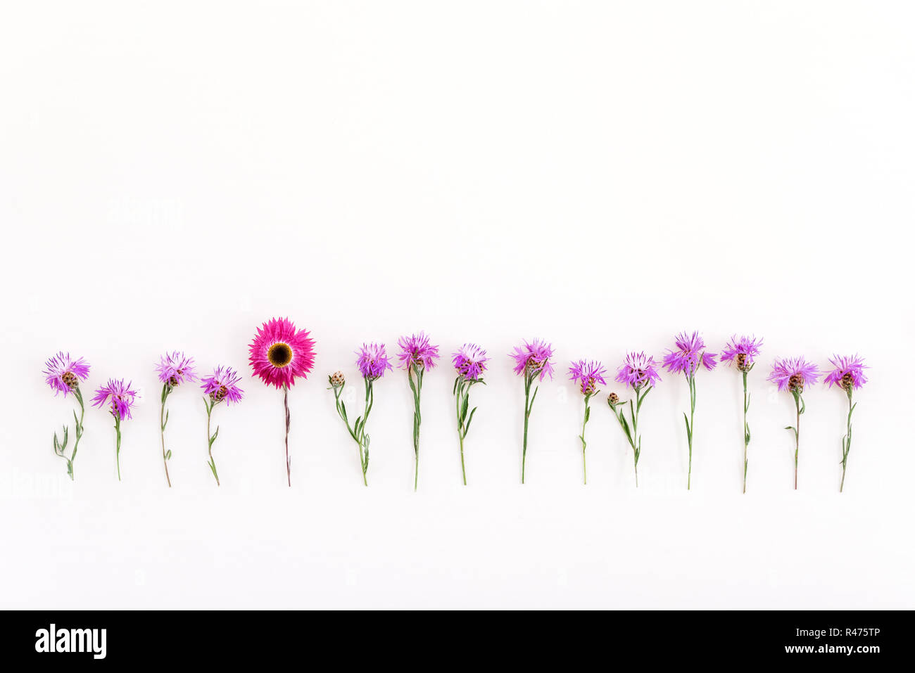 Pink strawflower in a row of wild purple cornflowers, on white background. - Stock Image