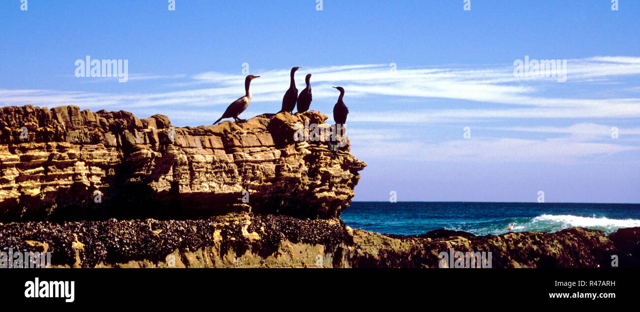 USA, Kalifornien, Los Angeles: Kormorane am Strand von Malibu. - 01.08.2005 - Stock Image