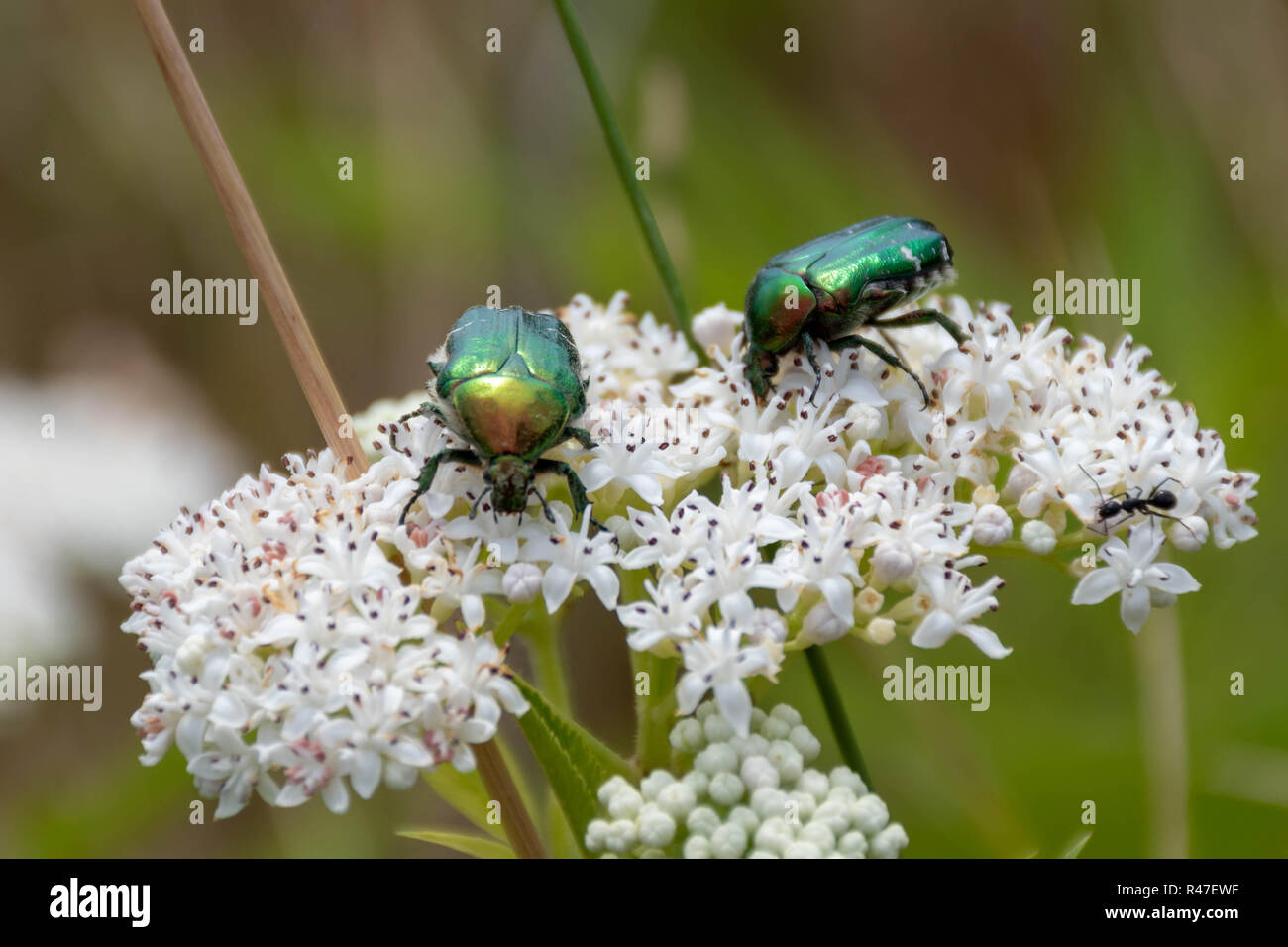 Closeup of two green metallic beetles (European Rose Chafer, Cetonia aurata) crawling on small white flower blossoms Stock Photo