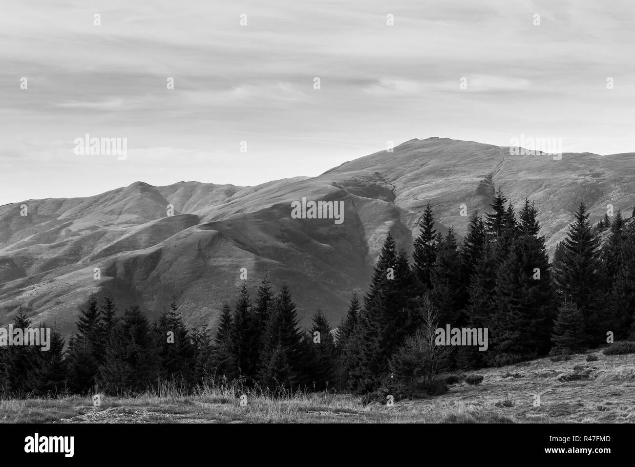 Black and white view of vast highlands of Old mountain in Serbia and foreground line of pine trees - Stock Image