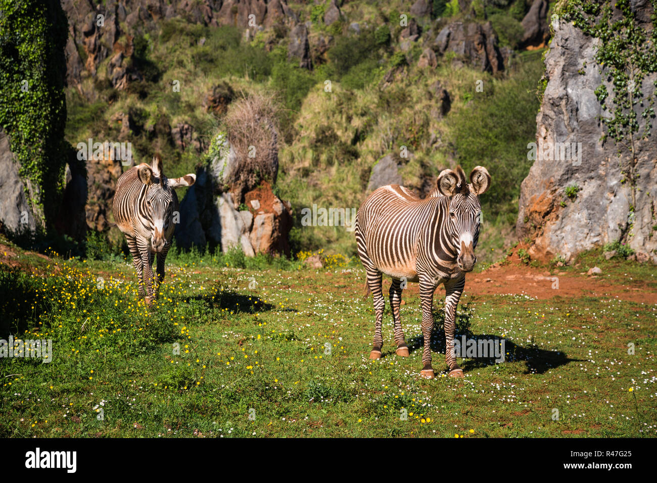 the grevy's zebra (equus grevyi),sometimes known as the imperial zebra,is the largest species of zebra. it is found in the masai mara reserve in kenya africa Stock Photo