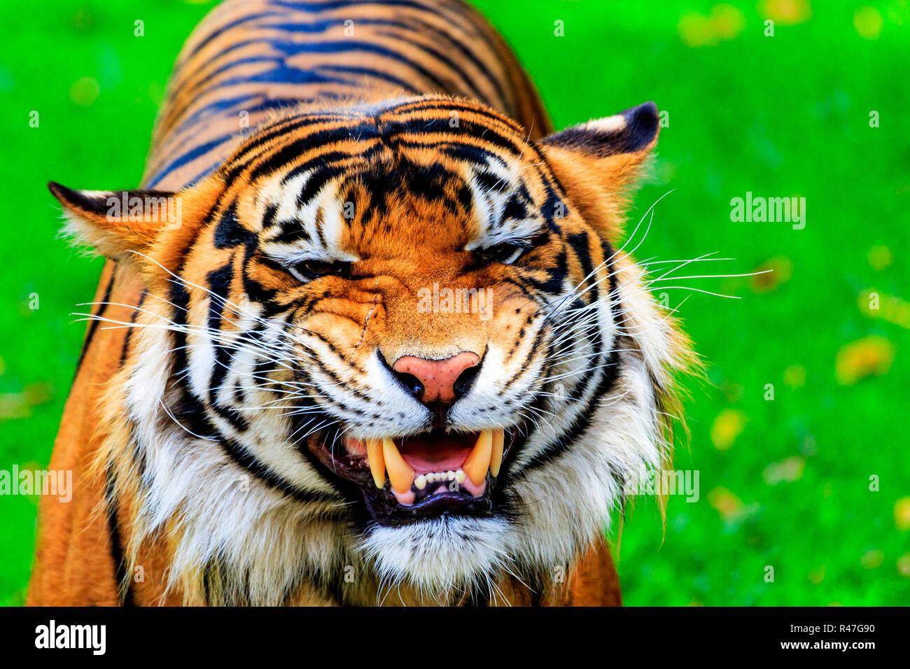 grinning tiger R47G90