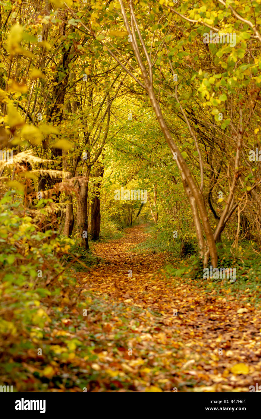 Photograph looking down a woodland path lined with Hazel trees in Autumn. - Stock Image
