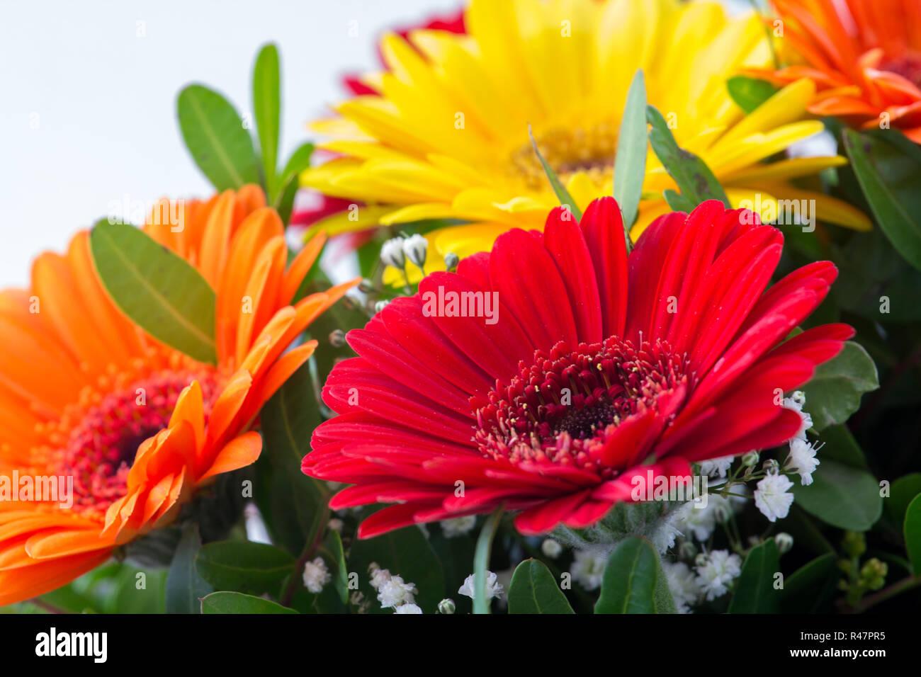 80786472 gerbera - beautiful,colorful summer flowers in rich tones Stock ...