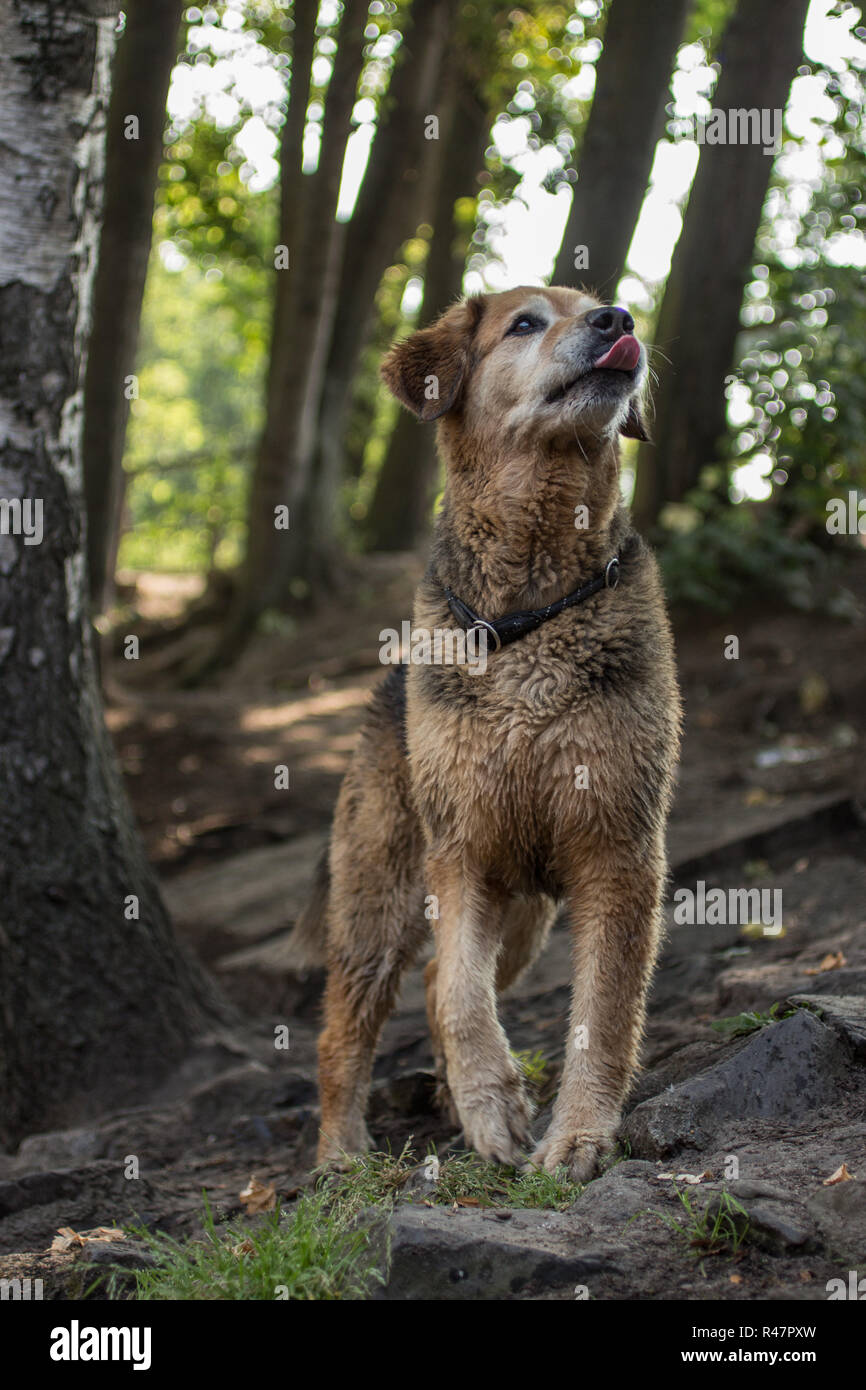 large breed dog is watching in the forest Stock Photo