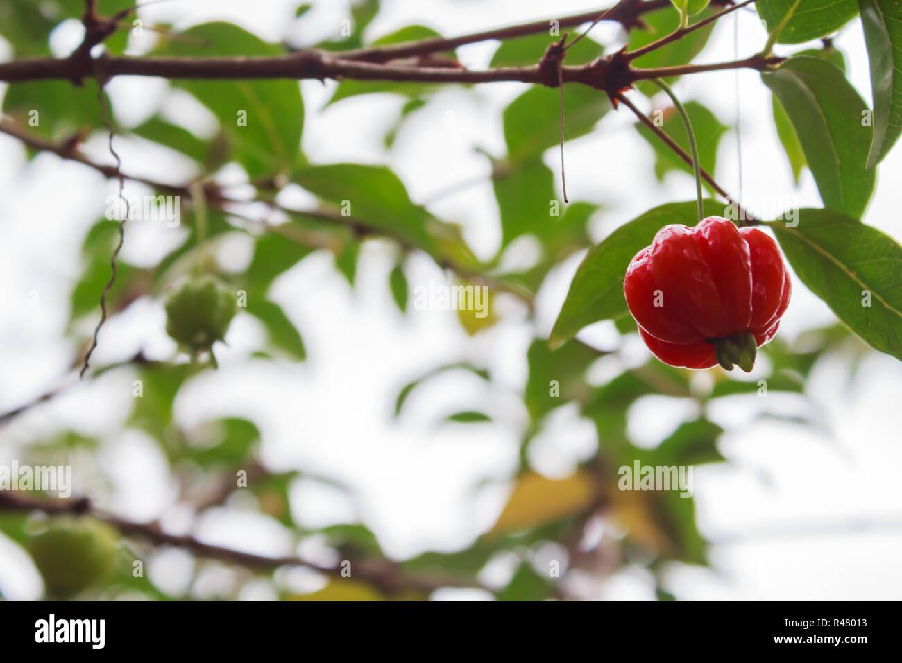 Fresh organic Acerola cherry on the tree, High vitamin C and antioxidant fruits - Stock Image