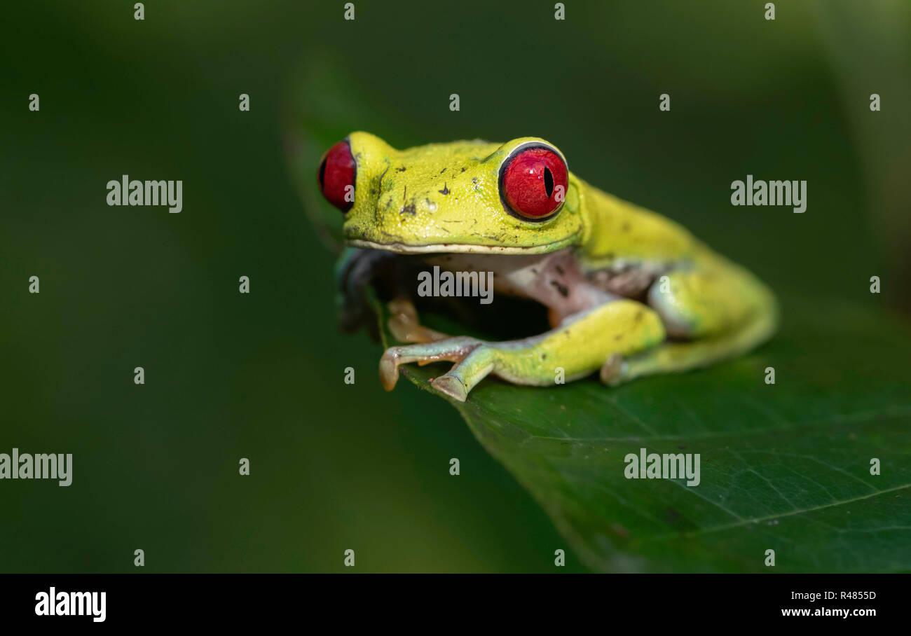 Tree Frog in Costa Rica Stock Photo
