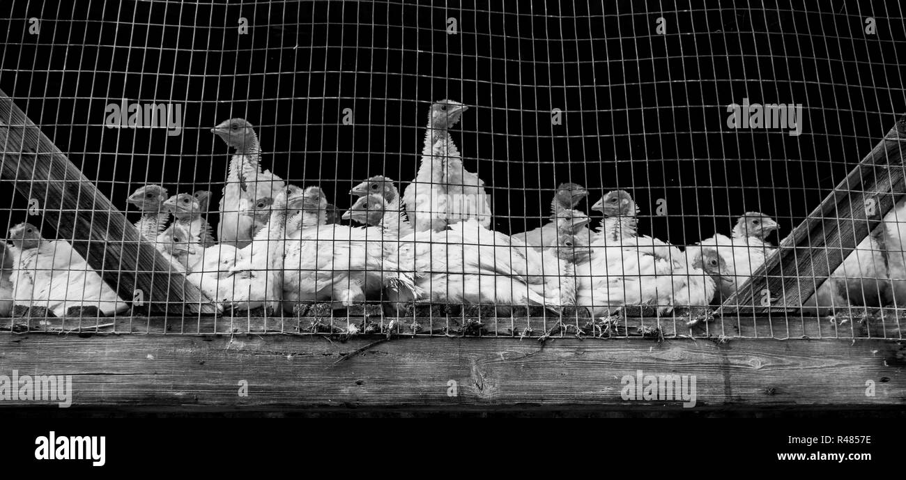 Turkeys in a cage on a farm. - Stock Image