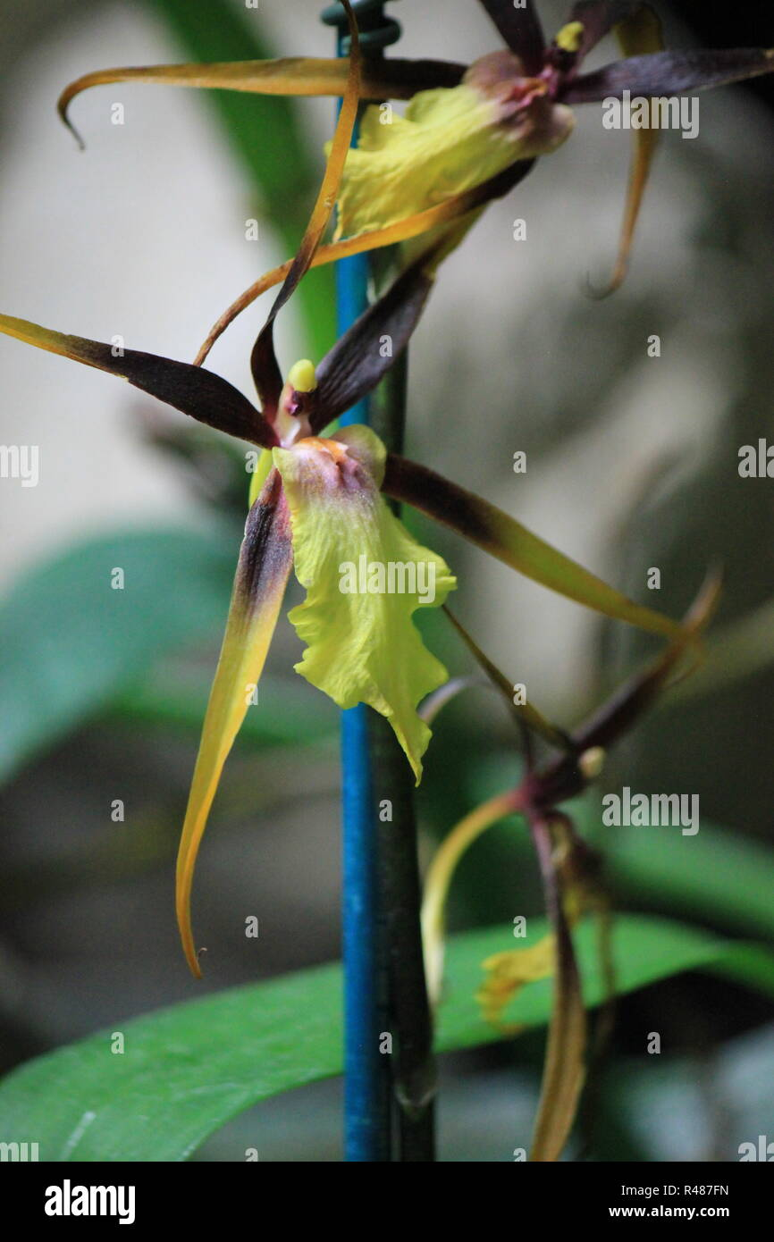 Beautiful brown and yellow spider orchid caladenia at the Friendship Park Conservatory in Mount Prospect, Illinois. - Stock Image