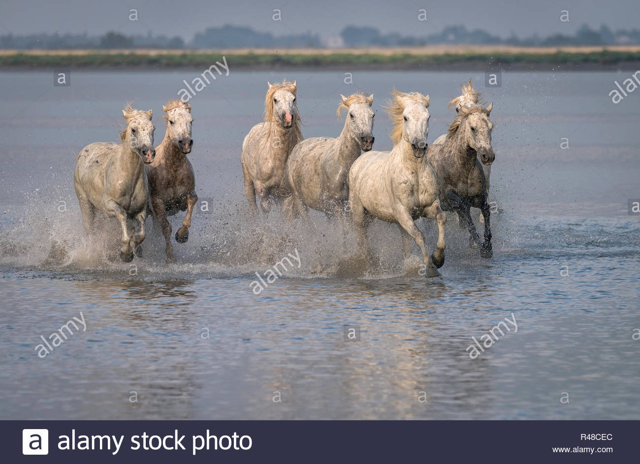 Herd of white Camargue horses running through the water in France - Stock Image
