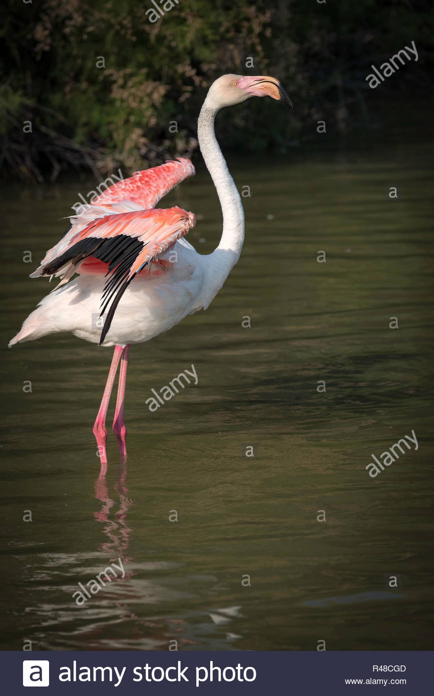 Flamingo standing in water flapping its wings - Stock Image