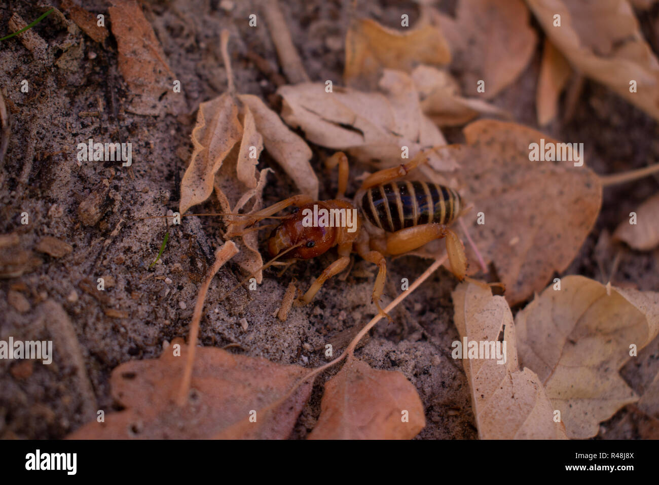 A rare species of insect known as a Jerusalem Cricket, found in the western United States and native to the rockies Found in Dinosaur National Monument - Stock Image