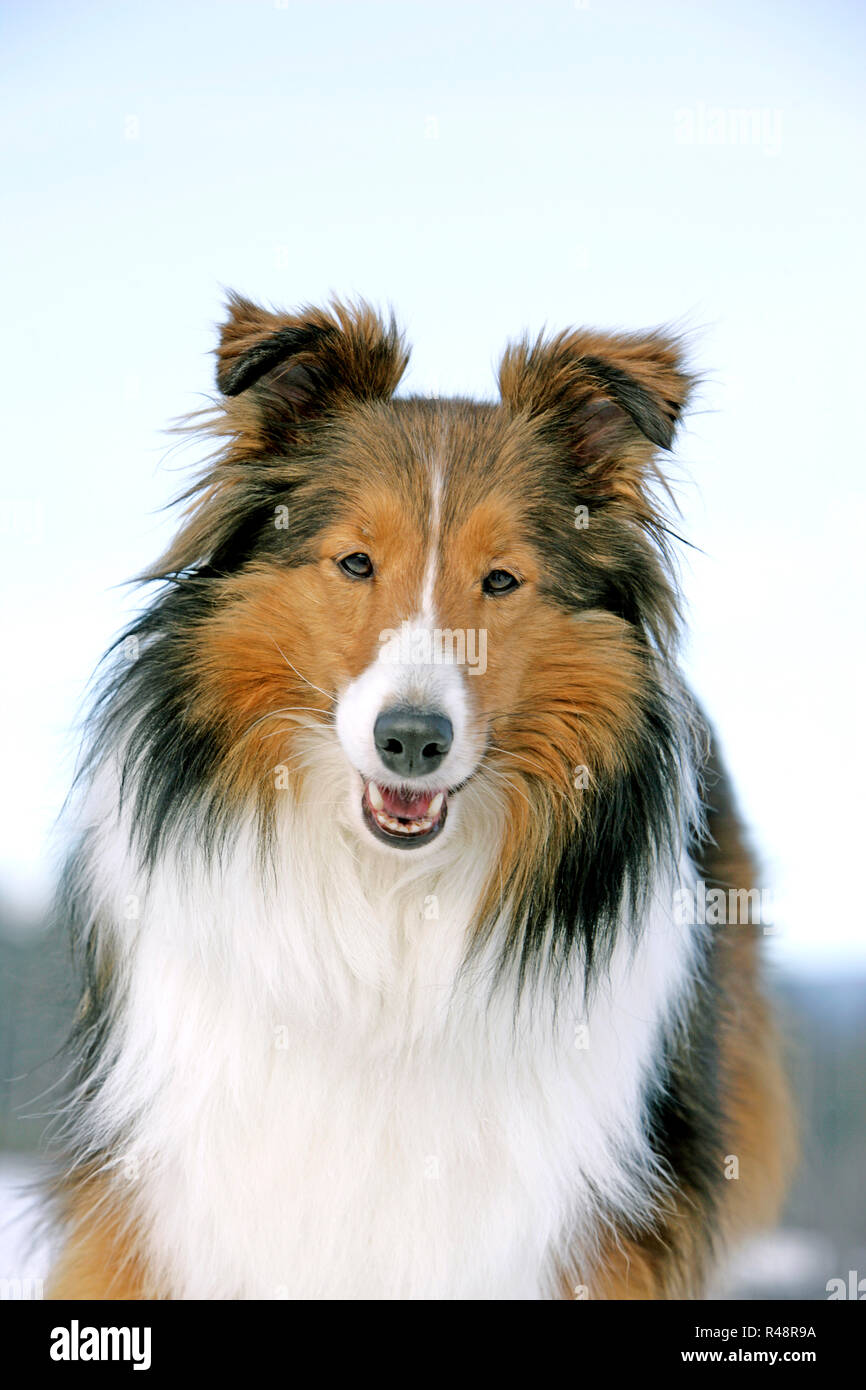Close up portrait of Shetland Sheepdog standing in snow, looking at camera. - Stock Image