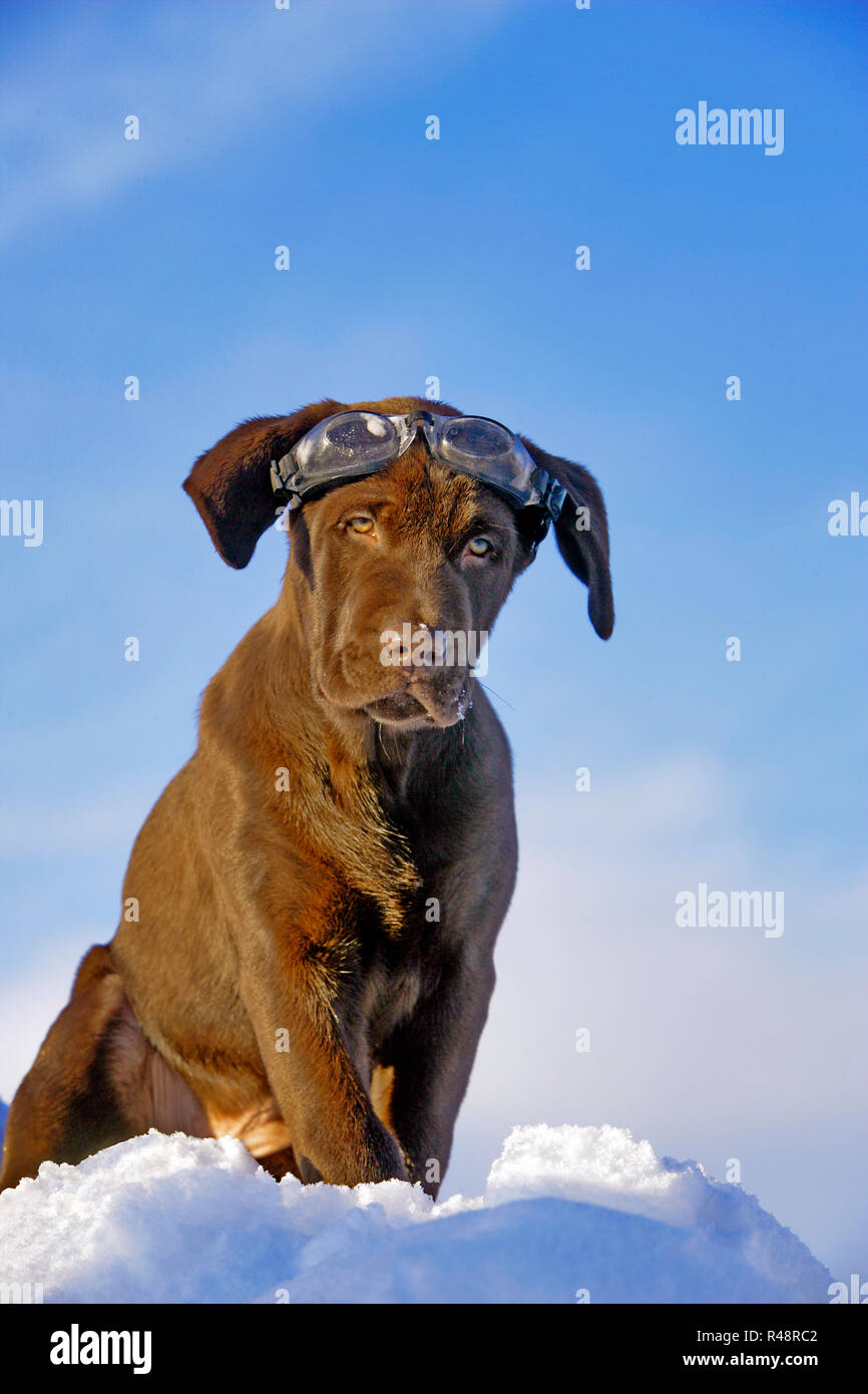 Chocolate Labrador Retriever puppy with Goggles, sitting on top of snowbank - Stock Image