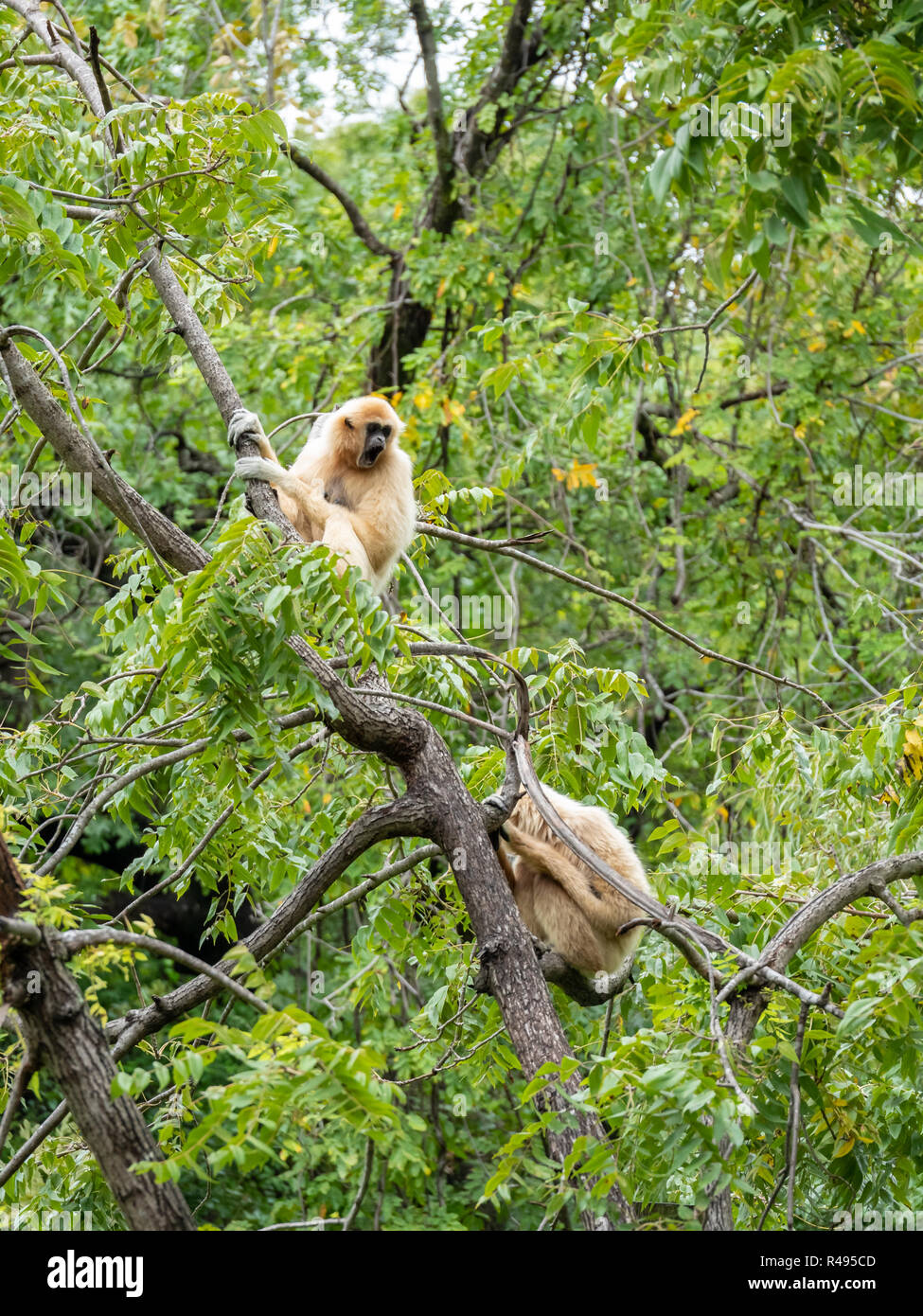 Two White Monkeys In a Tree In Bright Day - Stock Image