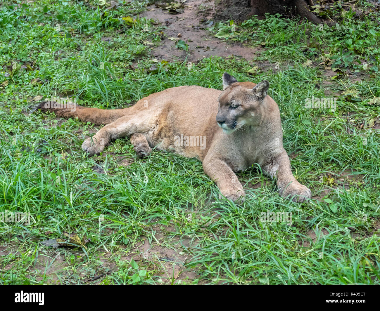 Puma Sitting on Green Muddy Grass Looking Left - Stock Image
