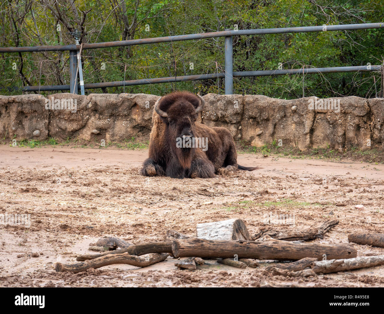 Large Buffalo In Texas Zoo Looking At the Camera - Stock Image