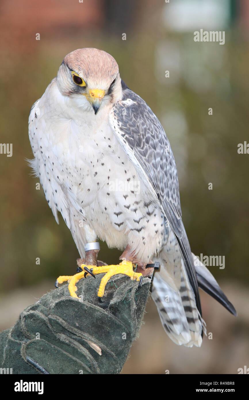 Afrikanischer Lannerfalke (Falco biarmicus), Pressekonferenz zum Fruehlingsmarkt (29.05. bis 01.05.) auf Gut Basthorst, Gut Basthorst, 11.04.2016 Stock Photo