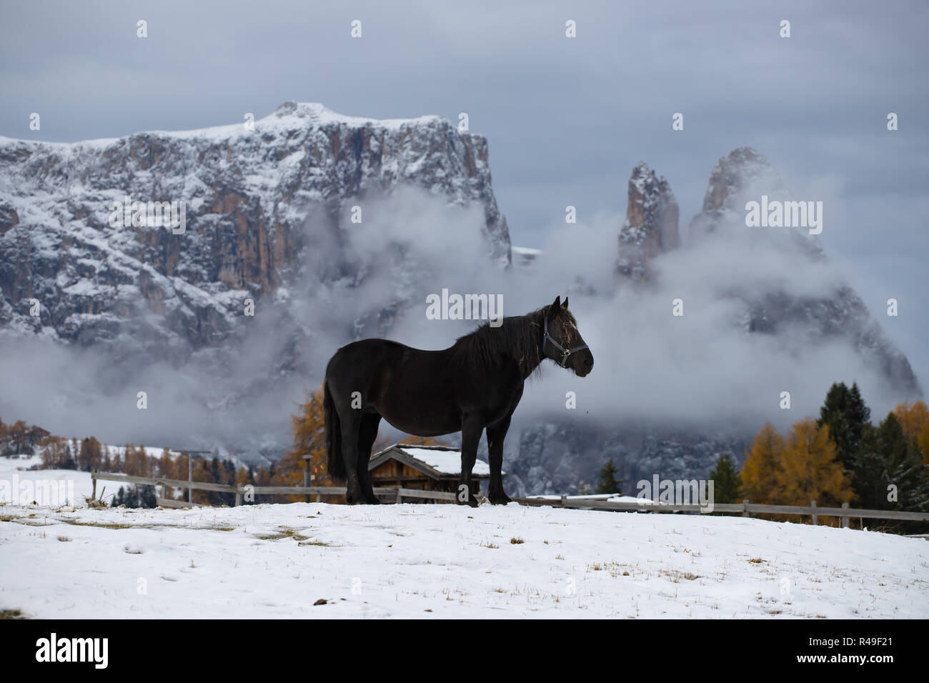 Horses on the winter meadow and Schlern (Sciliar) mountain peaks on background. Dolomite Alps, Seiser Alm (Alpe di Siusi), South Tyrol, Italy. Stock Photo