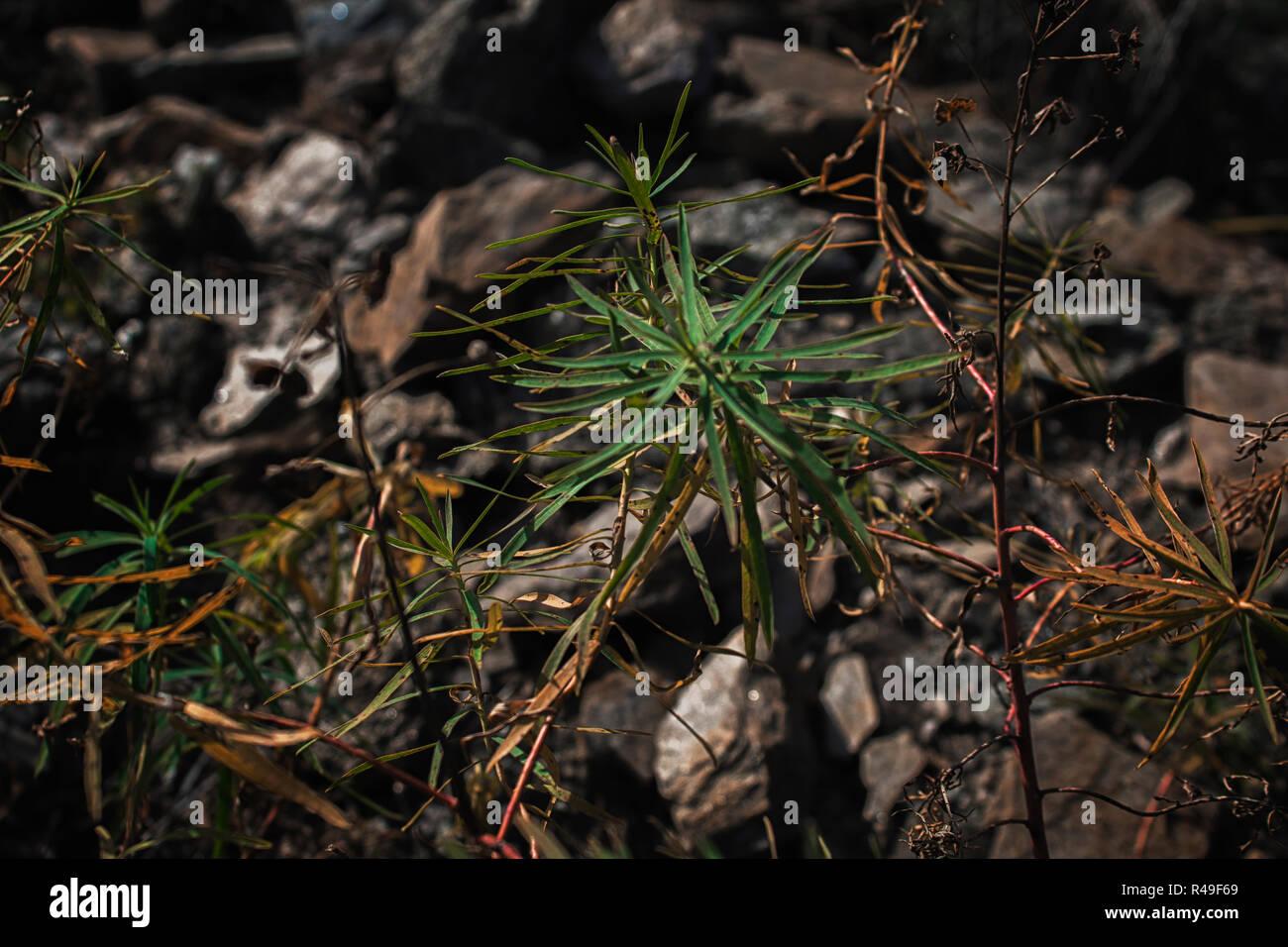 Wild plants. Plants background. Plants and stones. - Stock Image