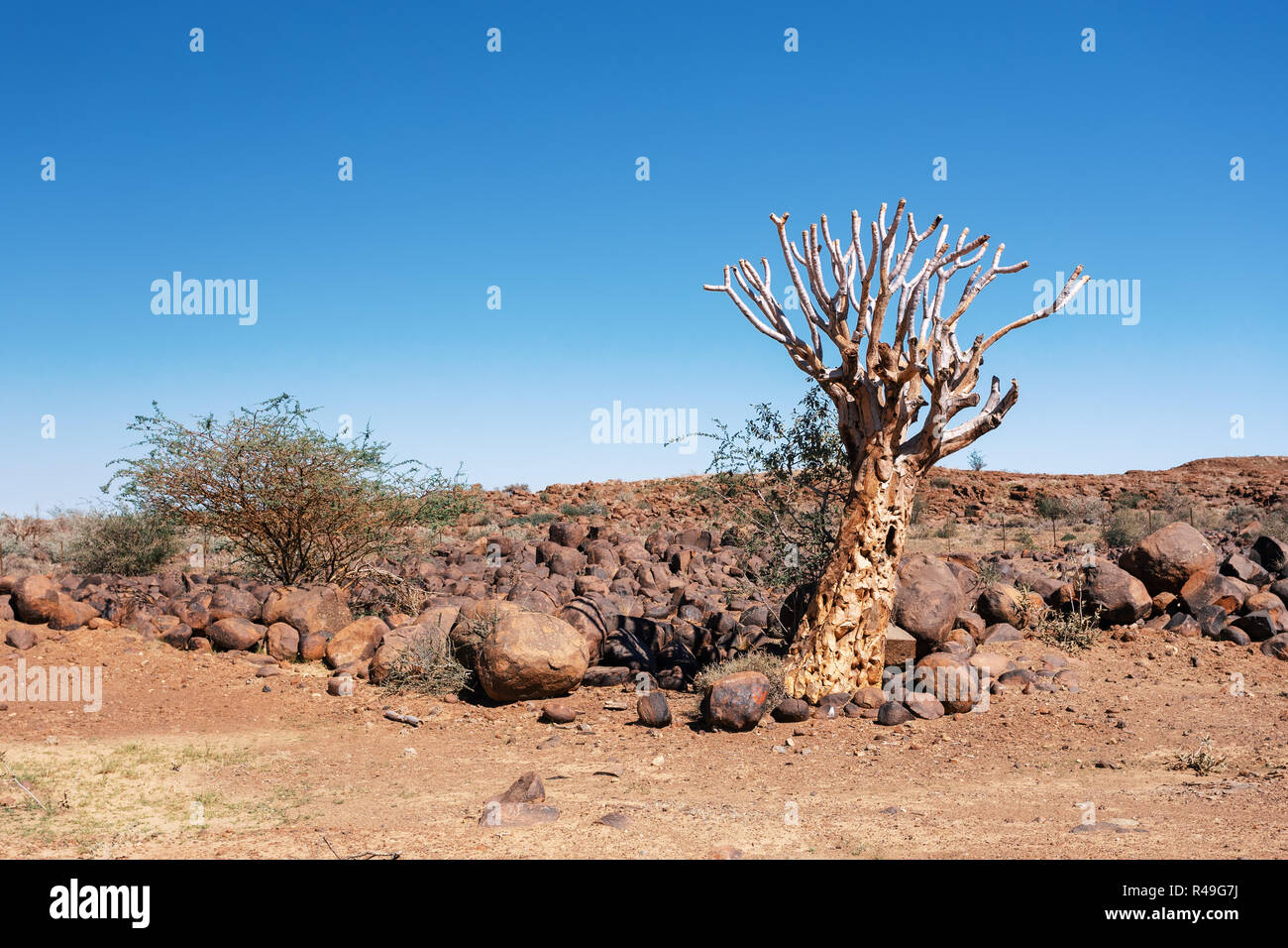 Aloidendron dichotomum, formerly Aloe dichotoma, the quiver tree or kokerboom, is a tall, branching species of succulent plant, indigenous to Southern Stock Photo