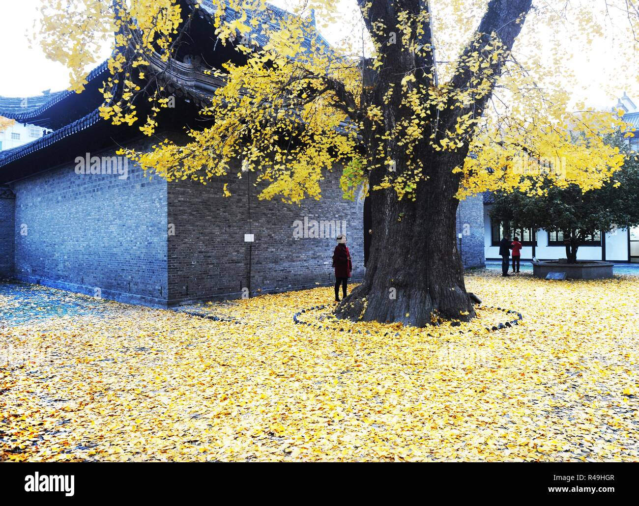 Yangzhou, China's Jiangsu Province. 25th Nov, 2018. A visitor stops under a ginkgo tree at the Shangfang Temple in Yangzhou City, east China's Jiangsu Province, Nov. 25, 2018. Credit: Pu Liangping/Xinhua/Alamy Live News Stock Photo