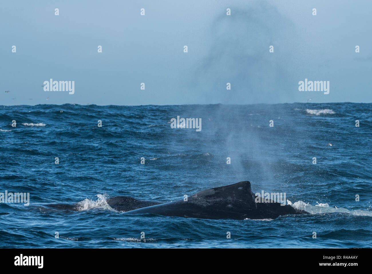 A humpback whale briefly surfaces and sends up a plume of spray in the Farallon islands national marine sanctuary off the coast of San Francisco. Stock Photo