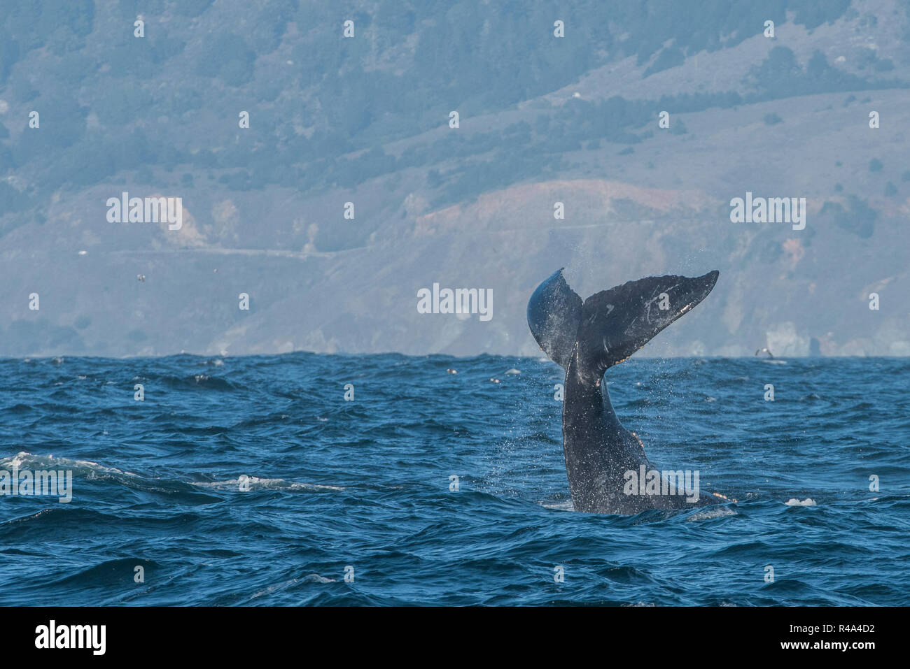A humpback whale engaging in tail slapping behavior or lobtailing, a form of communication, off the coast of California. - Stock Image
