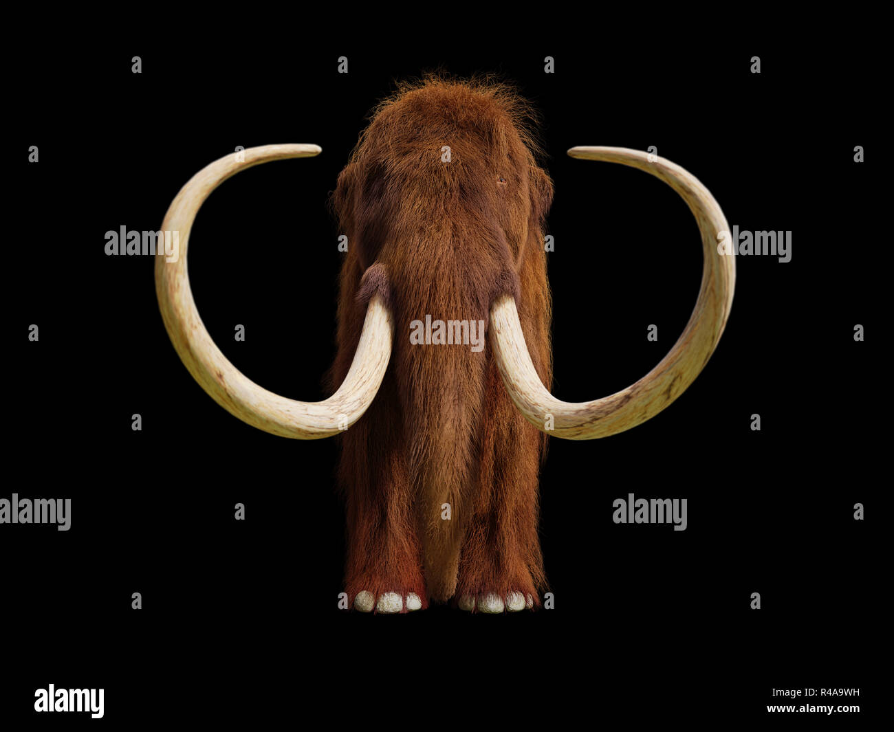 woolly mammoth, prehistoric mammal front view isolated with shadow on black background - Stock Image