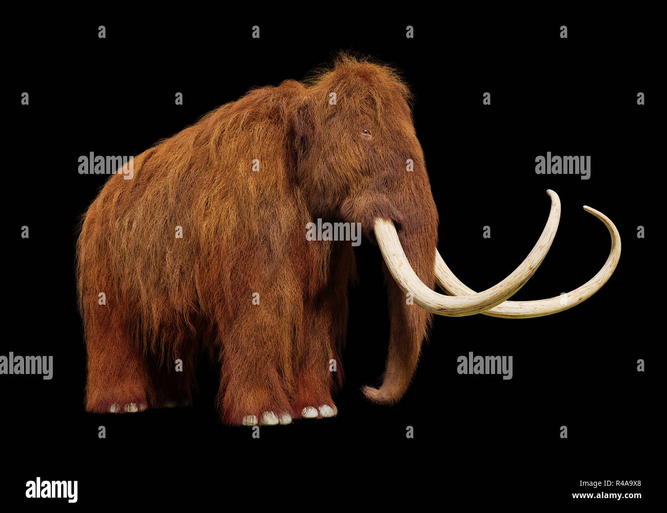 woolly mammoth, prehistoric mammal isolated on black background - Stock Image