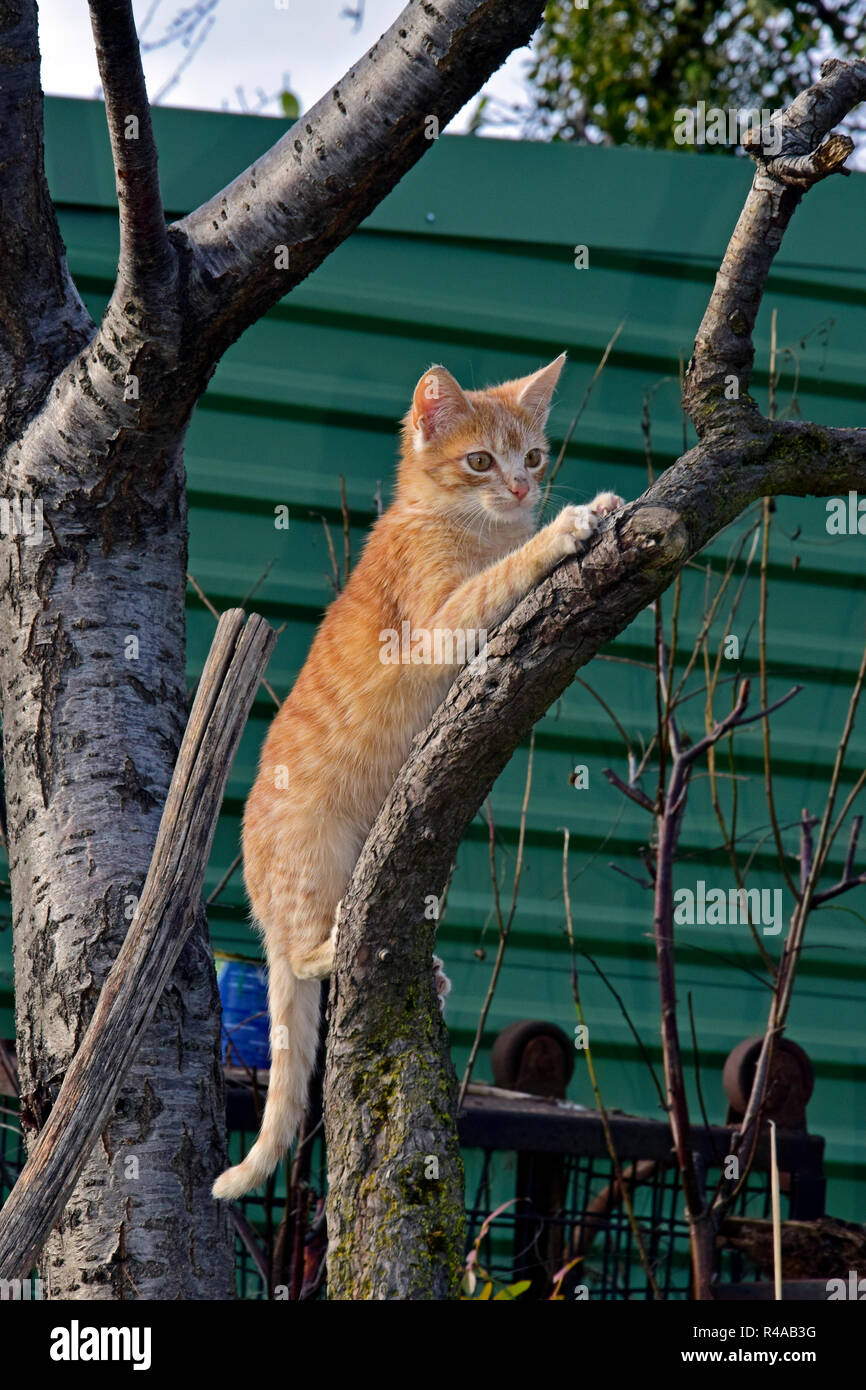 Orange tabby kitten grabbing a tree branch by its claws, lateral close-up view - Stock Image
