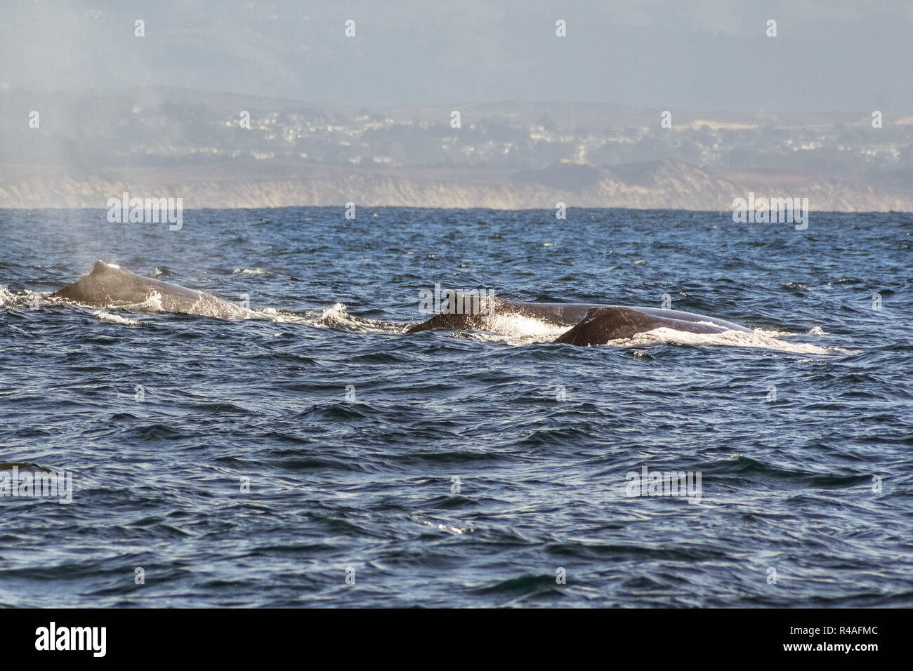 A group of humpback whales swimming in the waters of Monterey bay, California - Stock Image